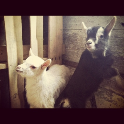 Dolly and Deloris, Guernsey x Toggenburg goat kids. Born March 8, 2013.
