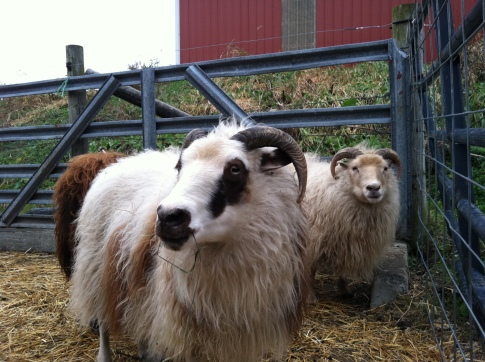 Orka, in the front here, was by far the most striking of all our sheep